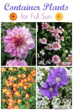 The best container plants for full sun gardens. Discover some new favorites for color and style. #containergardening #gardening