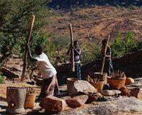 ドゴン族の村バナニ  トウジンビエの脱穀 マリ共和国[01488146863] - 写真素材・ストックフォト|アマナイメージズ