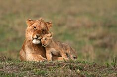 Young Lions - The Cat Family Inspiring Photography