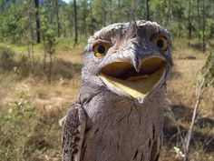 Tawny frog mouth.
