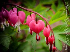 Bleeding Hearts...this reminds me of my step-mom who passed away!! :~(