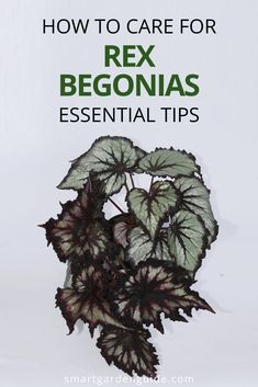 Complete guide to Rex Begonia care. This stunning houseplant that comes in such a variety of colors and patterns can be a little tricky to keep happy at first. These care tips wiol help you keep your Rex Begonia thriving year after year. Kitchen Plants, Smart Garden, House Plant Care, Garden Guide, Begonia, Houseplants, Indoor Plants, Inside Plants, Indoor House Plants