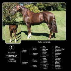 Purebred Chilean Horse .Caballo Chileno Pura raza .