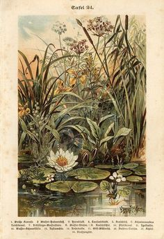 1892 Water Plants Water Lily Flowers Antique Chromolithograph Print Specht
