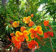 Barbados:  poinciana, peacock flower, red bird of paradise, dwarf poinciana, pride of Barbados / pequeño flamboyant, framboyán francés, guacamaya, clavellina, pájaro rojo del paraíso, chivato de jardín (Caesalpinia pulcherrima)  http://en.wikipedia.org/wiki/Pride_of_Barbados  http://es.wikipedia.org/wiki/Caesalpinia_pulcherrima