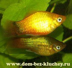 Platy (Xiphophorus maculatus), male