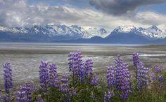 Arctic Lupine, Homer Alaska