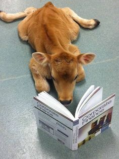 Things that make you go AWW! Like puppies, bunnies, babies, and so on. A place for really cute pictures and videos! Cute Baby Cow, Baby Cows, Cute Cows, Cute Babies, Baby Farm Animals, Baby Elephants, Fluffy Cows, Fluffy Animals, Animals And Pets