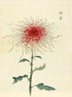 Chrysanthemum Flowers by Keika Hasegawa Japanese Chrysanthemum, Japanese Flowers, Japanese Drawings, Japanese Prints, Botanical Drawings, Botanical Prints, Illustration Botanique, Poster Art, Art Japonais