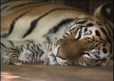 Mama and baby tiger