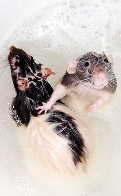 Wish my rats cooperated like this for bath time!