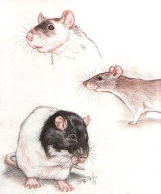 Rats from the sketchbook. by greyviolett.deviantart.com