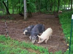 using pigs for clearing brush
