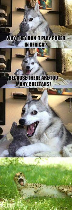 Husky Lolz Cheetah Lolz