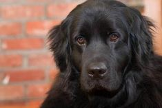 a black golden retriever? gimme. @Ann Hamilton this picture could also go on my For the Lakehouse board...