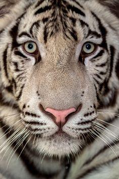 White Tiger by Lessy Sebastian