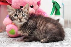 ADOPTED - Willow - URGENT - City of Corsicana Animal Shelter, Corsicana, Texas - ADOPT OR FOSTER - 10 WEEK OLD Female Tabby Domestic Long Hair KITTEN