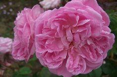 Image result for jeanne de montfort rose