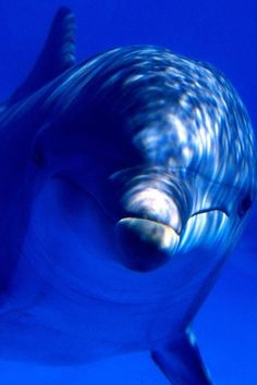 Delfín ~~ For more:  - ✯ http://www.pinterest.com/PinFantasy/color-~-azul-blue/