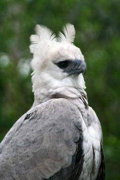 AMAZON BIRDS  Harpy Eagle Peru Bird Watching - Birds of Peru Photo Gallery   www.go2peru.travel