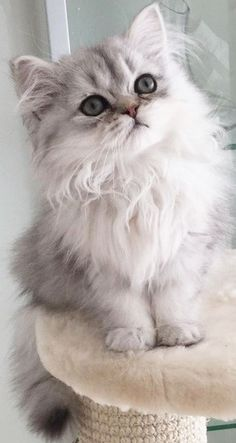 Amour de chat 🧡🧡🧡 chats calin – Chats et chatons- chaton mignon -b… Cute Baby Cats, Cute Cats And Kittens, Cute Baby Animals, I Love Cats, White Kittens, Adorable Kittens, White Persian Kittens, Kittens Cutest Baby, Grey Kitten