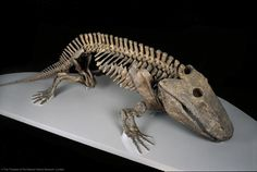 Eryops megacephalus, a primitive amphibian from the Early Permian period, 295-285 million yrs ago