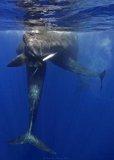 Sperm whales 'hugging'