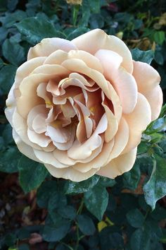 e9c1874c27df Quicksand - Standard Rose - Roses - Flowers by category