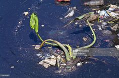 Stock Photo : An aquatic river plant surrounded by plastic bottles and pollution.