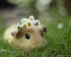 guinea pigs are too sweet