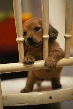 "Dachshund puppy playing ""jail"". Cute!"