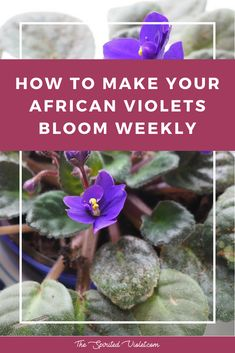Houseplants for Better Sleep Explaining How To Make Your African Violets Bloom Weekly And Keep Your House Plant Looking Gorgeous Via The Spirited Violet Flower Pots, House Plants, Container Gardening, Flower Garden, Flowers, Bloom, Planting Flowers, Indoor Vegetable Gardening, African Violets