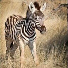 Baby zebra in Etosha National Park. #namibia #africa #african #zebra #wildlifephotography #wildlife