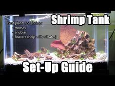 Shrimp keeping is immensely rewarding. There are so many species of freshwater aquarium shrimps to choose from. Here is a list of best shrimps for aquarium. Pet Shrimp, Ghost Shrimp, Tiger Shrimp, Shrimp Tank, Freshwater Aquarium Shrimp, Aquarium Fish, Aquarium Ideas, Amano Shrimp, Red Cherry Shrimp
