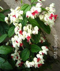 Foto 7_Clerodendron thomsonii_lágrima-de-Cristo