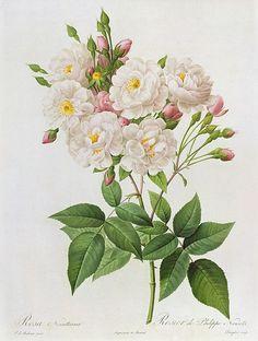 Pierre-Joseph Redoute//Roses                                                                                                                                                                                 More