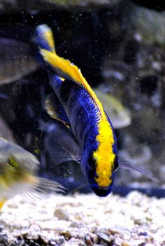 African Cichlid~ freshwater  Sulfur Head ~ Want!!