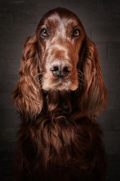 Irish Setter Dogs And Puppies