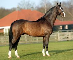 Dutch warmblood - Cantos