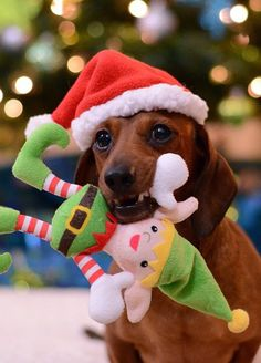 What a dachshund probably thinks of elf on the shelf lol.