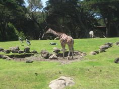 San Francisco Zoo 2010 San Francisco Zoo, So Little Time, Giraffe, Places, Animals, Giraffes, Animales, Animaux, Animal Memes