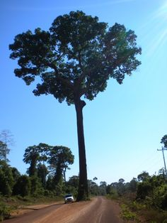 Árbol de Castaña
