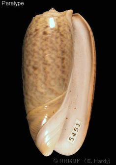 Oliva (Viduoliva) neostina raderi