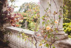 climbing roses fading into fall