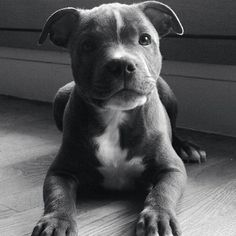 Staffordshire Terrier Pup... Who couldn't love a face like this ❤️