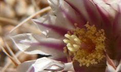 Floraciones 30-08-08 - Adriana Celli - Álbumes web de Picasa Coconut Flakes, Natural, Cactus, Food, Pest Control, Compost, Picasa, Flowers, Essen