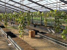 ブドウ 栽培 - Google 検索