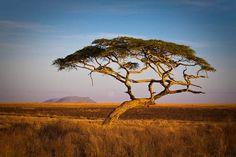 African Landscape Photo - Wall Art - 8x12 inch, Acacia Tree, Serengeti, Nature…