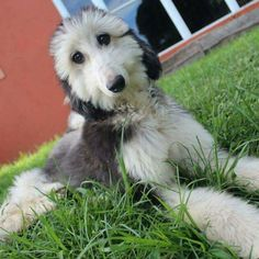 BeingDogs.com | I love the fuzzy face of Afghan Hound puppies