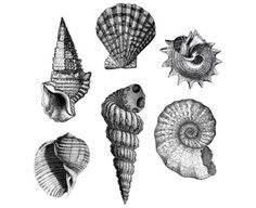 A collection of striped seashells.